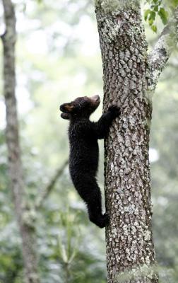 Baby Bear Climbing Tree